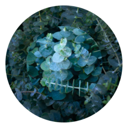 eucalyptus essential