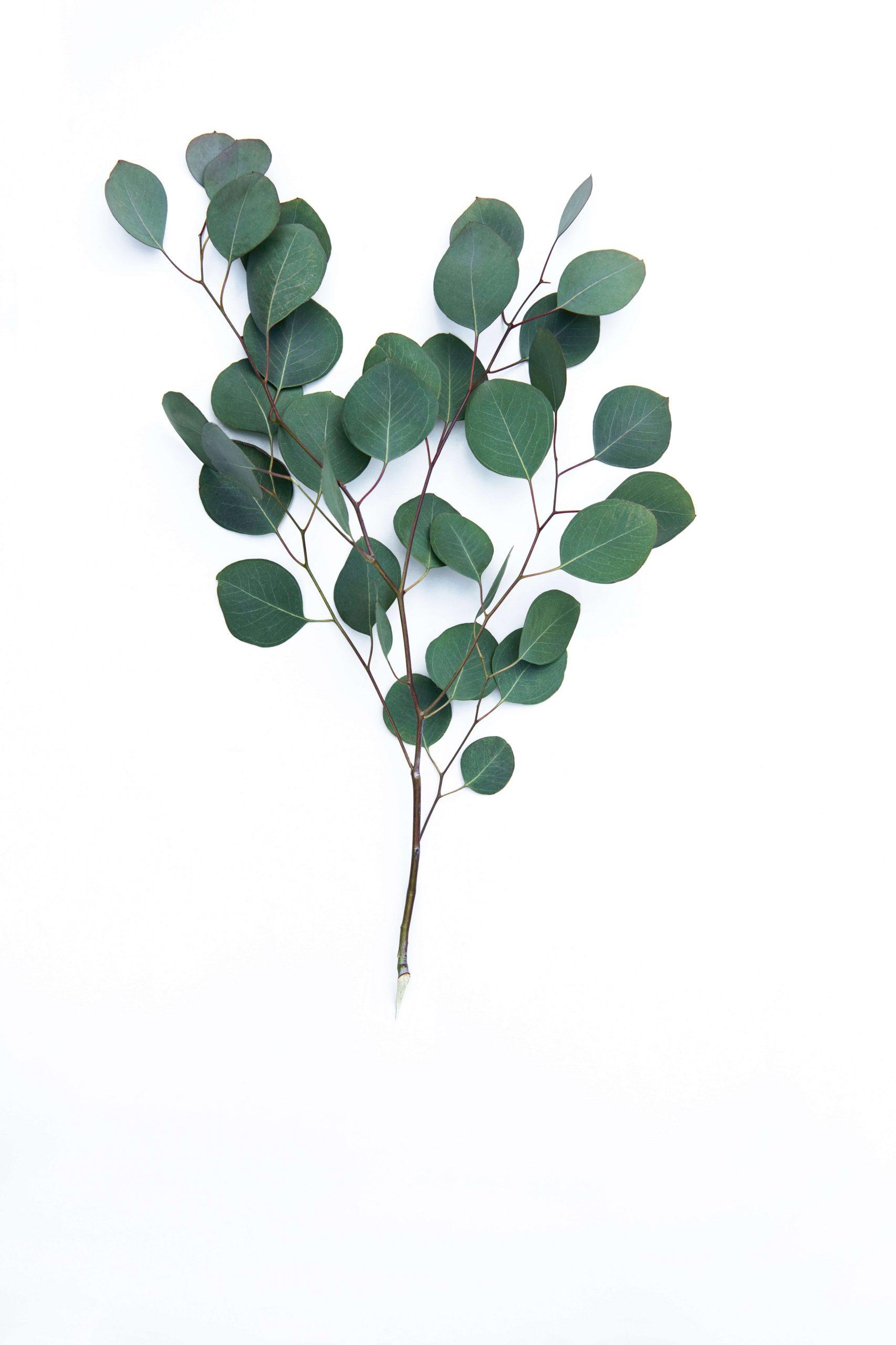 blog image eucalyptus edited scaled